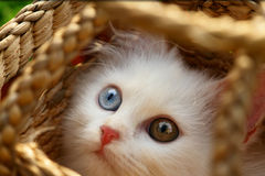 Persian cat. A persian cat is looking a bird Royalty Free Stock Photo