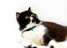 Persian Cat. Isolated royalty free stock images