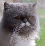 Persian cat 2. Portrait of nice persian cat Stock Photo