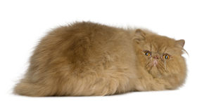Persian cat, 2 years old Royalty Free Stock Photo