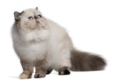 Persian Cat, 2 years old, looking up Stock Photo