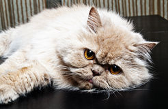 Persian cat Royalty Free Stock Image