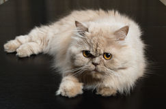 Persian cat Royalty Free Stock Photography
