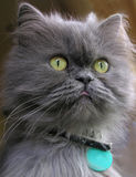 Persian cat. Gray persian cat with tip of the tongue showing stock image