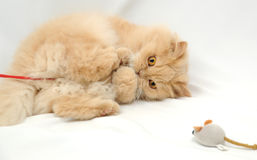 Persian Cat. Playing with her toy mouse Royalty Free Stock Photography