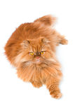 Persian cat. An orange Persian cat isolated on white Royalty Free Stock Image