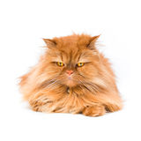 Persian cat. An orange Persian cat isolated on white Stock Image