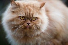 Persian cat. Close up of a dissatisfied fluffy Persian cat Stock Photos