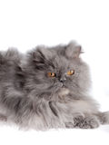 Persian Cat. On white background Royalty Free Stock Images
