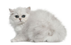 Persian cat, 3 months old, sitting Stock Photos