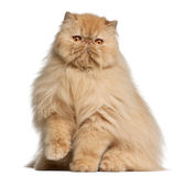 Persian cat, 3 years old. In front of white background Stock Photography