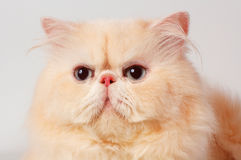 The persian cat Stock Image