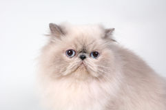 The persian cat Stock Photos