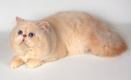 The persian cat Stock Images