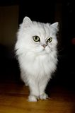 Persian cat. A white persian cat close-up Stock Image