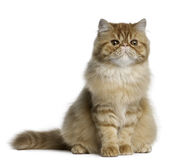 Persian cat, 5 months old, sitting Stock Image