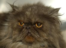 Persian Cat. This is a grey Persian cat stock images
