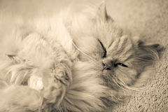 Persian cat. Sleeping on the carpet Stock Images