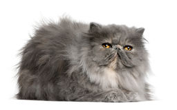 Persian cat, 8 months old Stock Images