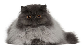 Persian cat, 8 months old, lying royalty free stock photos