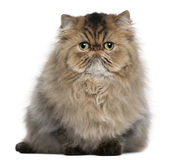 Persian cat, 8 months old, sitting Royalty Free Stock Image