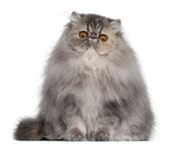 Persian cat, 8 months old, sitting Royalty Free Stock Photo