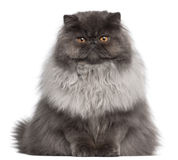 Persian cat, 8 months old, sitting stock photography