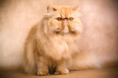 Persian cat. Portrait of a persian cat on a brown background. Studio shot Royalty Free Stock Photos