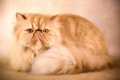 Persian cat Royalty Free Stock Photos