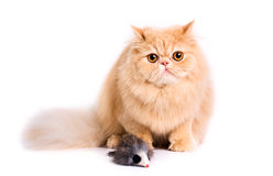 Persian cat. Portrait of a persian cat on a white background. Studio shot Stock Images