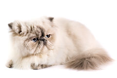 Free Persian Cat Royalty Free Stock Photography - 8880977