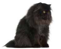 Persian cat, 9 months old Royalty Free Stock Photo