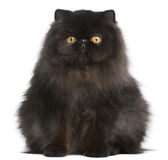 Persian cat, 9 months old. In front of white background stock photo