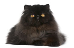 Persian cat, 9 months old stock image