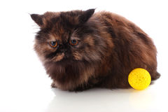 Persian cat and ball Royalty Free Stock Images