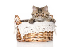Persian cat in basket on white background Stock Images
