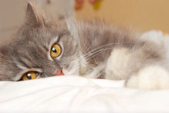 Persian cat on bed Stock Photography