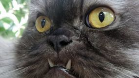 Persian cat big eyed Royalty Free Stock Images