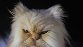 Persian cat on a black background. A cat of a peach color sits and looks at the camera, licking and winking at the eye. stock video footage