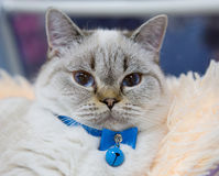Persian cat blue color Royalty Free Stock Images