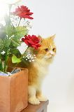 Persian cat with bouquet Royalty Free Stock Photo