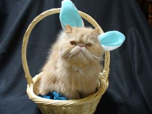 Persian cat bunny. Cat who thought he was a bunny on Easter royalty free stock image