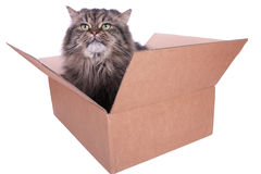 Persian cat in carton box Stock Image