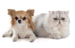 Persian cat and chihuahua Royalty Free Stock Images