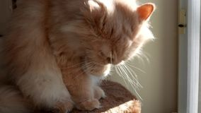 Persian cat cleaning her face on cat tree Stock Photo