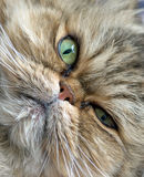 Persian cat close-up. A brown and gray persian cat face close-up royalty free stock photos