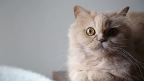 Persian cat  stock video