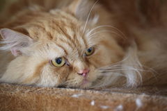 Persian cat Royalty Free Stock Photo