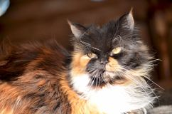 Persian cat close up. Close up of a Persian cat lying in the sun Stock Photography