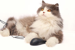 Persian cat with computer mouse Royalty Free Stock Photos